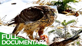 The Swiss Alps: Wild Animal Paradise | Free Documentary Nature