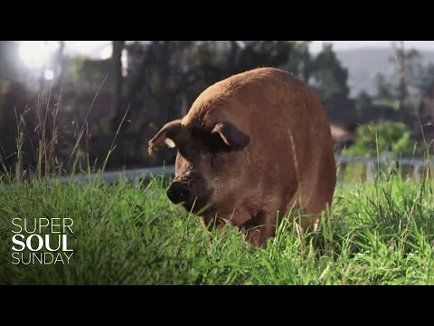 A Pig Named Emma, 13 Piglets and 1 Big Miracle   SuperSoul Sunday   Oprah Winfrey Network