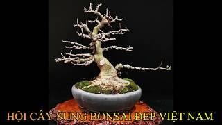 Kết quả cuộc thi ảnh tác phẩm cây sung bonsai đẹp Việt Nam Lần thứ 2|| ZZ Channel || Khắc Hùng
