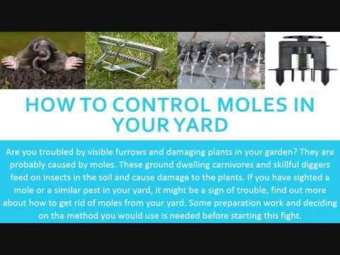 How To Control Moles in Your Yard