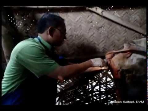 Ispadanje materice kod krave