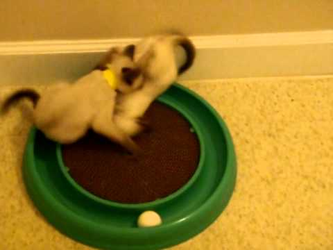 Girl Fight- siamese kittens wrestling- cute funny cat video