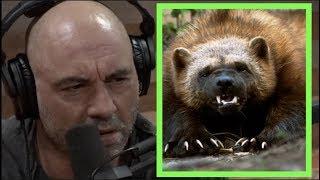 Joe Rogan - Wolverines are FEROCIOUS!!
