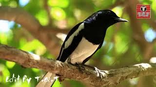 Tiếng chòe than già rừng hót buổi sáng cực hay   Luyện giọng chim hót mỗi ngày