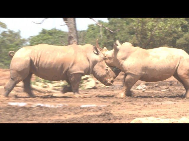 我「非洲白犀牛」復育有成 專家來取經