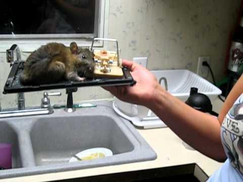 Big Rat In Glue Trap Youtube