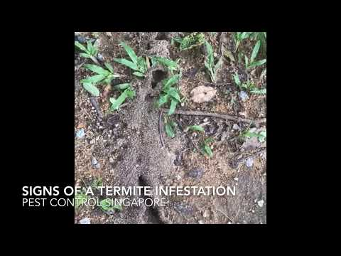 Signs of a termite infestation - Pest Control Singapore