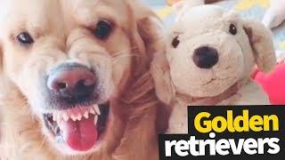 Funniest and Cutest Golden Retriever Viral Video Compilation 2019