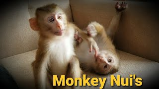 Monkey Baby Nui | Nui brought Mimi home to play