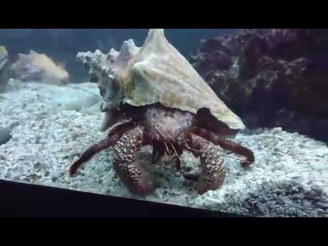 Giant Hermit Crab