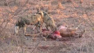 Park Kruger, african wild dogs, hunting with prey, Coritour, Franco Rigotti