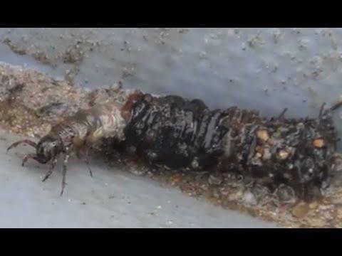 муравьиные яйца для удаления нежелательных волос