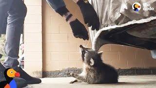 Man Rescues Raccoon Choking From Car Tarp | The Dodo