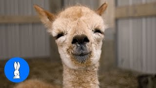 Furry Baby Alpacas - CUTEST Compilation