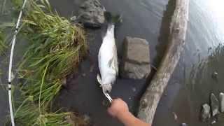 CA Sac Striper Fishing 2015 S-waver 168