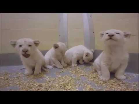 Upoznajte bele laviće
