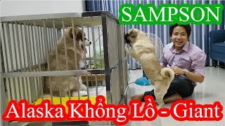 Chính thức nuôi Chó Alaska Khổng Lồ (Giant) - Pug Bư gào thét đòi tống cổ em Sam đi =)) PUGK PET