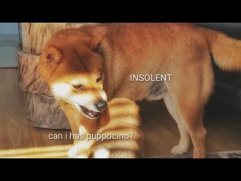 AMGERY daddo - the return Ep09 / Shiba Inu puppies (with captions)