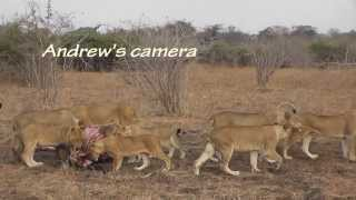 Cubs killed by dominant lioness