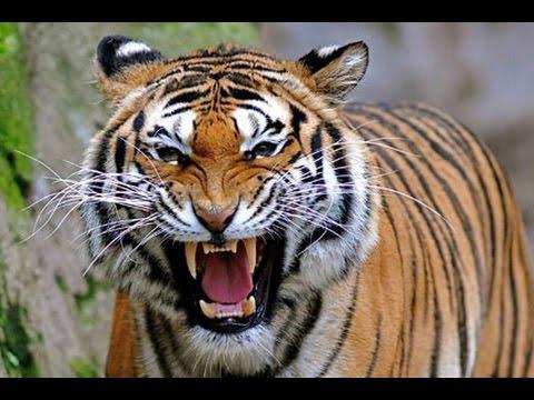 Hổ ở Suối Tiên