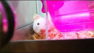 Adopting A Syrian Hamster!