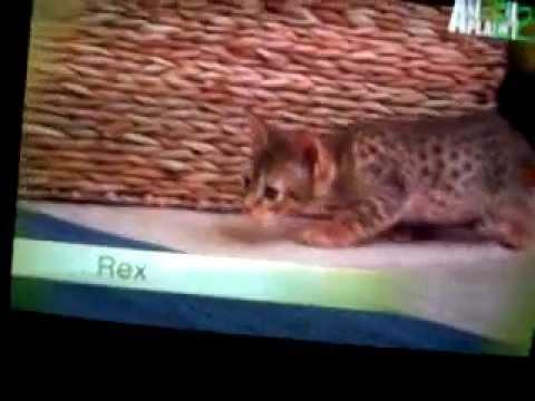super tiernos de animal planet episodio 15 la rasa de los gatitos parte 2
