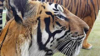 The true beauty that is in a tiger!