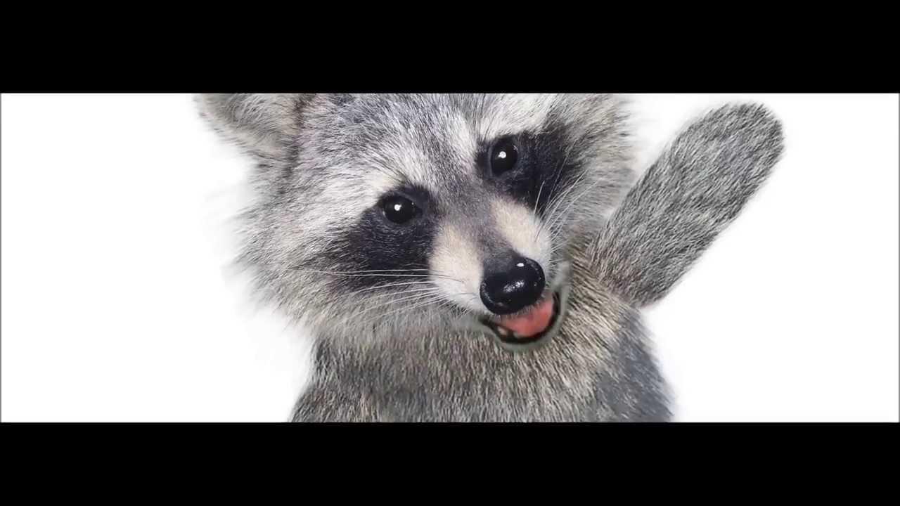 raccoon deutsch