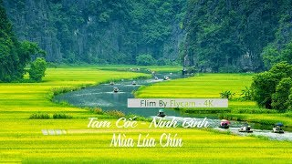 Tam Cốc - Bích Động - Ninh Bình - Mùa Lúa Chín Vàng