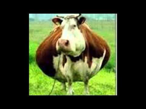 como estan las vacas