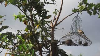 Bẫy chim bông lau. chào mào đít vàng - Tí cu Phú Yên 0935101280