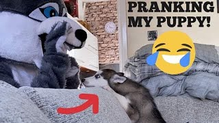 Pranking My Husky Puppy By Become A Giant Husky!! [BEST REACTION EVER!!!]