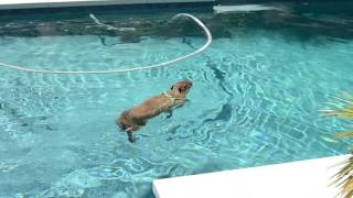 JoeJoe the capybara in a big pool