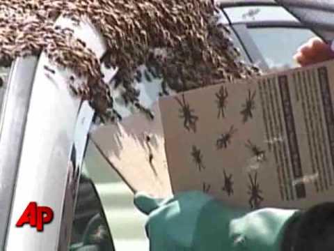 Пчели напаѓаат автомобил