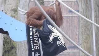 Audubon Zoo animals cheer on the Saints