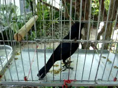 Baixar MELRO - Pássaro preto