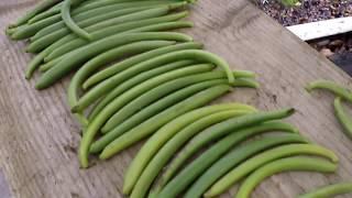 Vanilla Bean Harvest