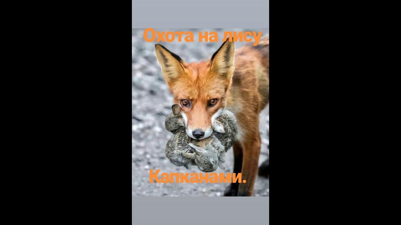 Ловля лисы капканами форум