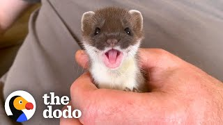 Tiny Baby Stoat Has The Best Reaction When She Meets Someone Like Her | The Dodo Little But Fierce