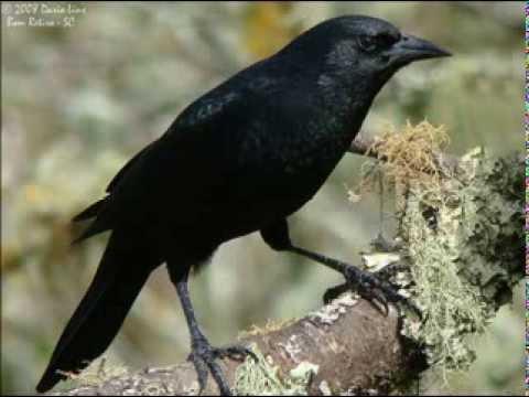Baixar Canto do Pássaro preto - Corner of the Black Bird