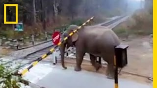 Watch: Impatient Elephant Disobeys Railway Rules | National Geographic