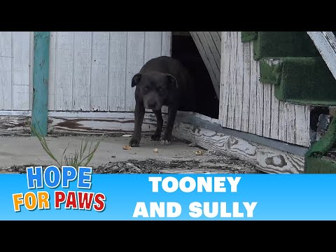 Hope For Paws: This pregnant Pit Bull was not alone under this abandoned school!!