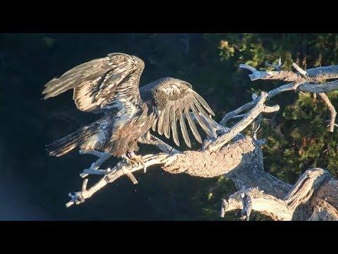 Big Bear Eagles ~ Simba **GORGEOUS**  Closeups On Snag! XOXO  8.9.19