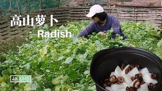 Stewed Radish in Casserole EP1丨砂锅炖萝卜丨4K UHD丨小喜XiaoXi丨挨过霜冻的高山萝卜,我们今天拔来炖砂锅