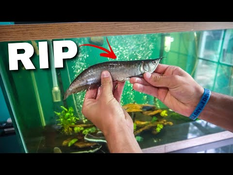 Rest In Peace Arowana...