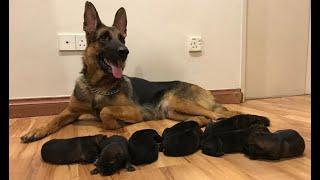 German shepherd Giving birth to 9 puppies -  (First Litter)