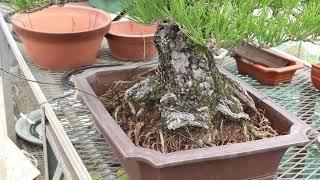 bonsai  pine 盆栽 黒松 植え替え
