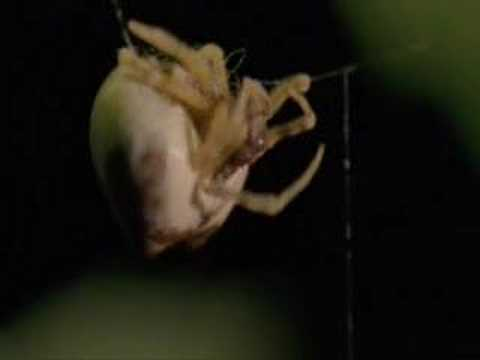 The dance of bolas spider with its prey