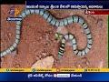 Rare Sri Lanka flying snake found in Nallamalla forests