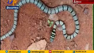 Rare Sri Lanka flying snake found in Nallamalla forests..